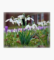 Snowdrops in the Sunshine Photographic Print