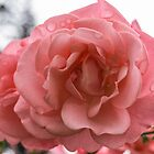 Pink Rose in the rain by Ken Humphreys