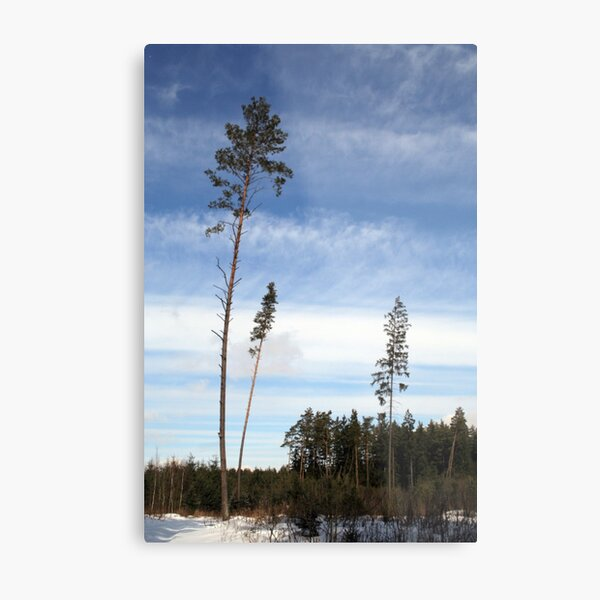Pines and Sky Metal Print
