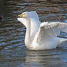 Whooper Swan by Jamie  Green