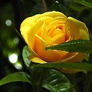 Sunkissed Golden Rose von VoxCeleste