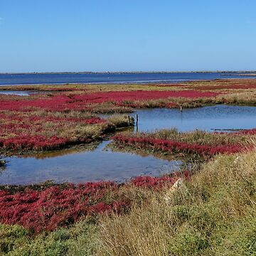 Field with red salicornia Salt-tolerant plant. Saltwort plant (Salicornia sp.) growing  by PhotoStock-Isra