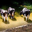 Three cows in the River Avon by heidiannemorris