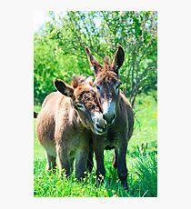 Pair of Donkeys Photographic Print