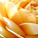 Sunrise Rose by marinar