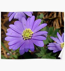 Grecian Windflower Poster