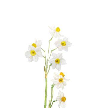 flor de acuarela narciso blanco de ColorandColor