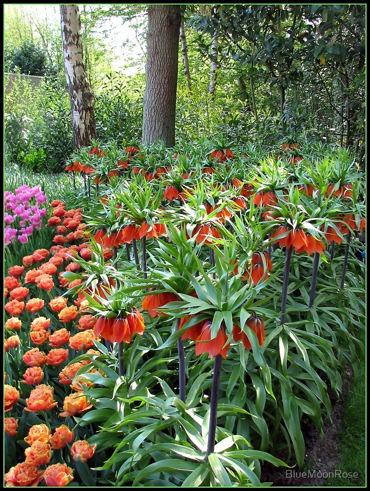 Tulips and Crown Imperials, Keukenhof Gardens, Holland by BlueMoonRose
