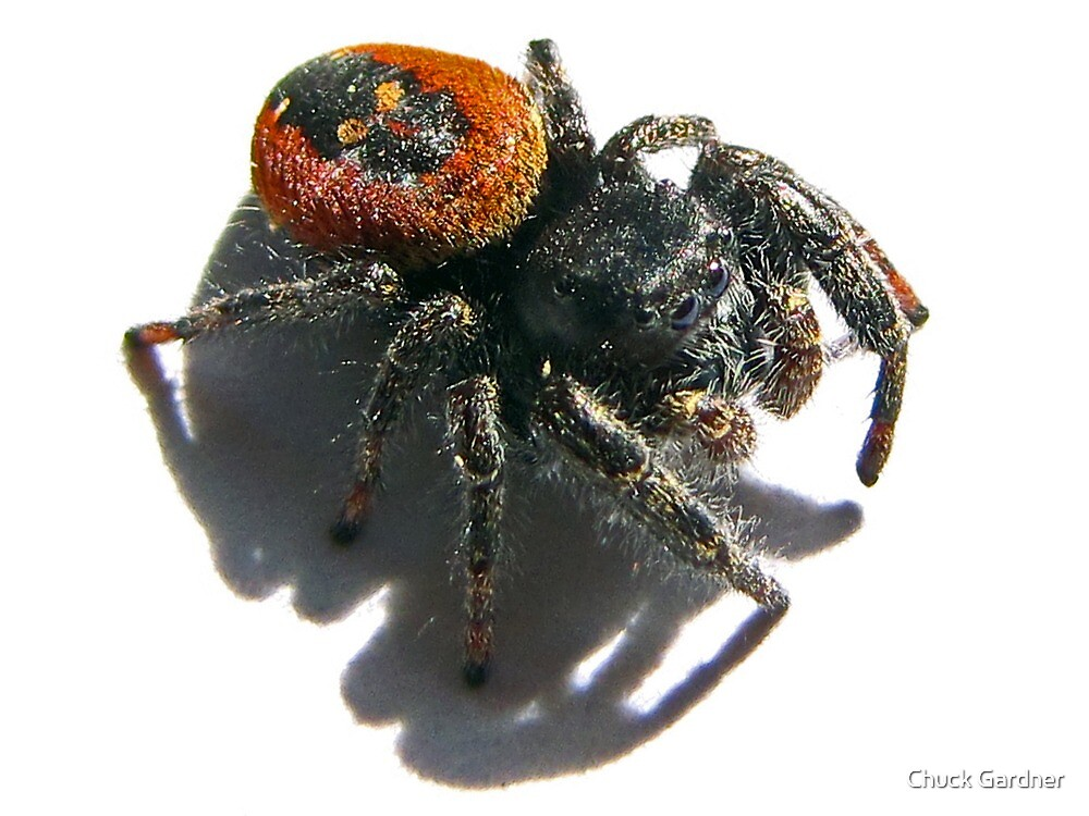 Black jumping spider with red dot - photo#55