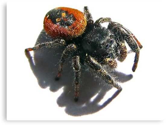 Black Skull on  it's Back<> Red jumping spider  by Chuck Gardner