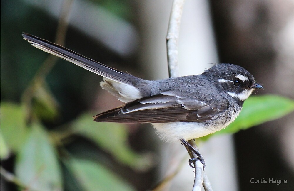 Grey Fantail by Curtis Hayne