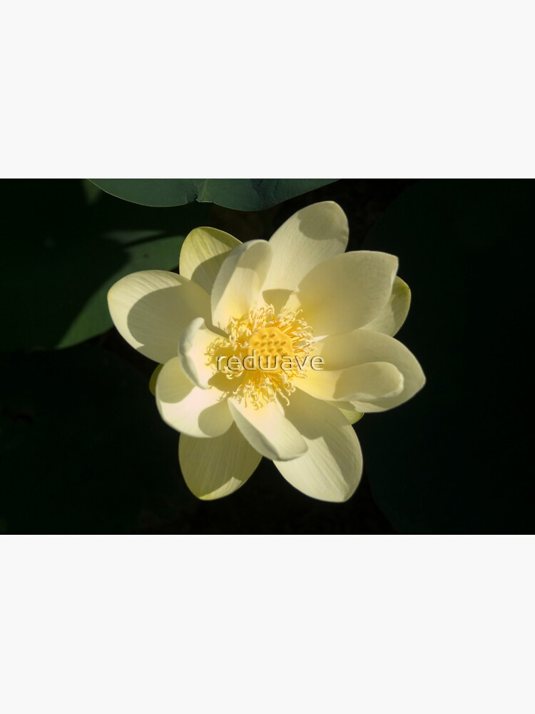 River Lotus Flower by redwave