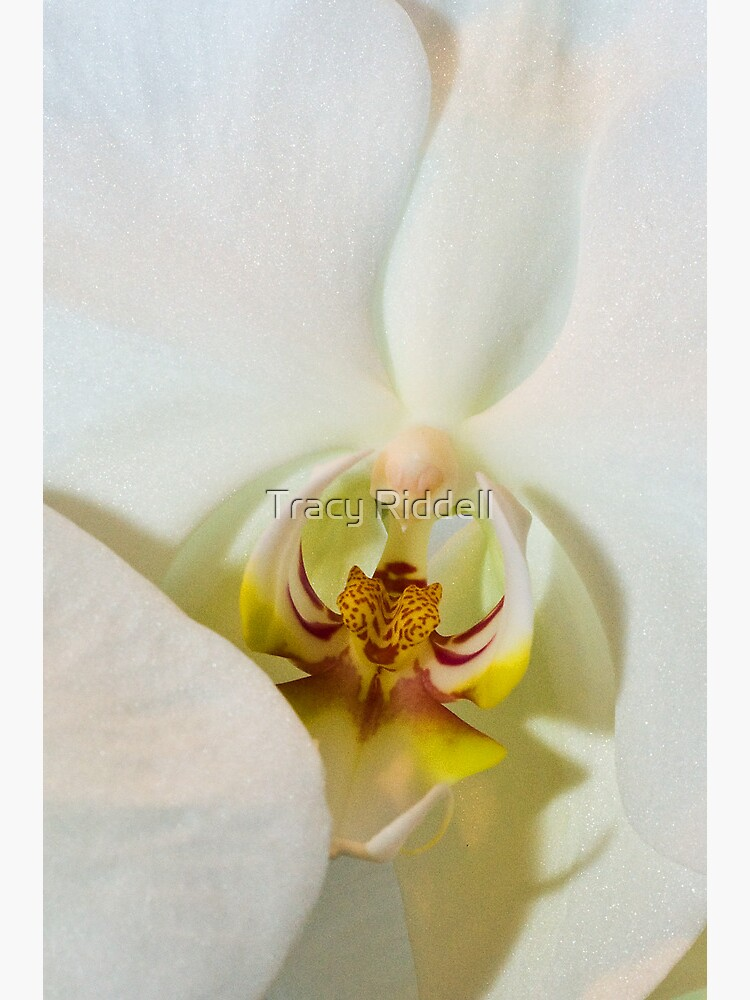 White Orchid by taos