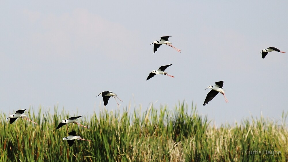Black-winged Stilts by Curtis Hayne