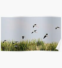 Black-winged Stilts Poster
