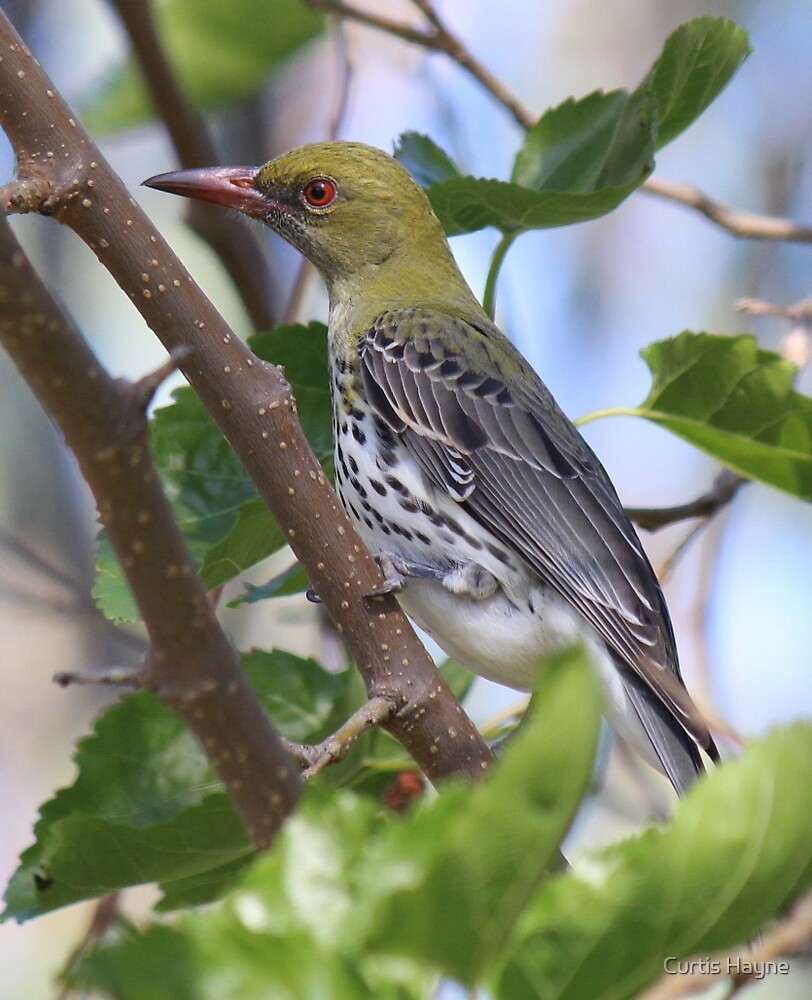 Olive-backed Oriole by Curtis Hayne