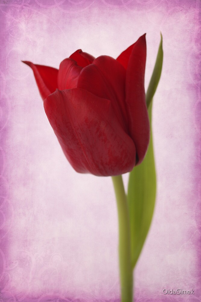 red tulip by OldaSimek