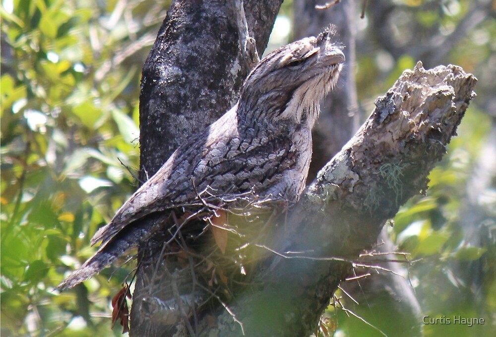 Tawny Frogmouth nesting by Curtis Hayne