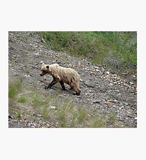 "Juvenile ""blond"" grizzly  Photographic Print"