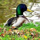 Duck in waiting by ©The Creative  Minds