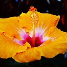 hibiscus #1 by Virginia McGowan