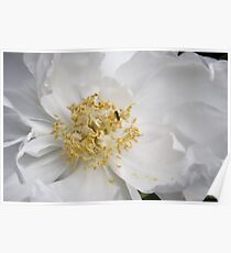 Tree Peony and Friend Poster
