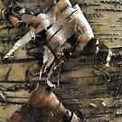 Birch Bark Curl by Tracy Wazny