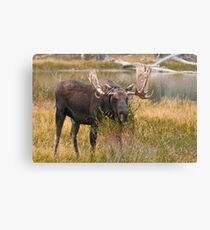Bull Moose II Canvas Print