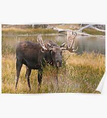 Bull Moose II Poster