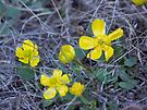 Sagebrush Buttercup by Betty  Town Duncan