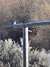 Mountain Bluebird on the Gate Post by Betty  Town Duncan