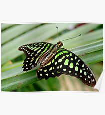 TAILED JAY   (Graphium agamemnon) Poster