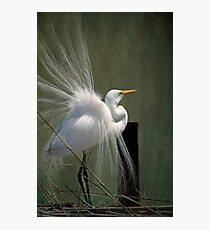 Avery Island Egrets--Great Egret in all his Regalia Photographic Print