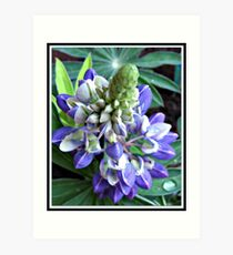 Raindrops on Baby Blue Lupin  Art Print