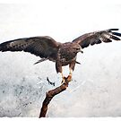 The Hawk has landed by ©FoxfireGallery / FloorOne Photography