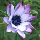 Dreamy Cape Daisy by BlueMoonRose
