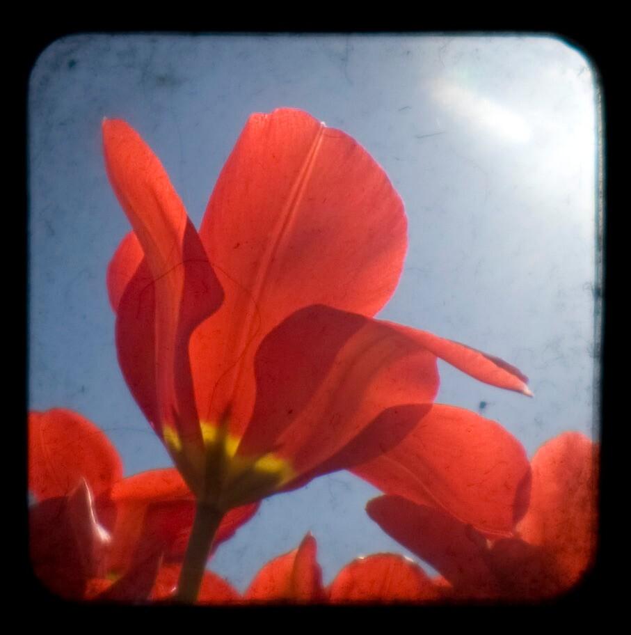tulip through the viewfinder by heylisa