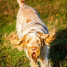 Spinone Orange and White Italian Spinone Dog in Action by heidiannemorris