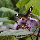 Butterfly Feeding von BlueMoonRose