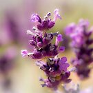 English Lavender by Tanya C  Smith