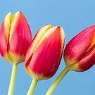 Three Tulips by Tanya C  Smith