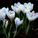 Beautiful (Spring Crocus early April) by Trevor Kersley