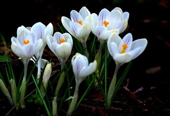 Beautiful (Spring Crocus early April) by Trevor Kersley