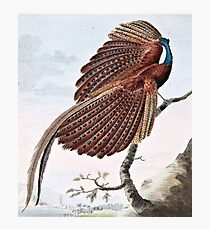 Argus Pheasant Bird Painting Photographic Print