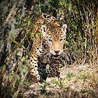 Jaguar Approach by Bob Hardy