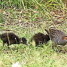 Banded Rail and Chicks..........!! by Roy  Massicks