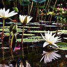 Waterlilies by Christy Tidwell