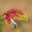 Shrimp Plant, Flower by Joy Watson