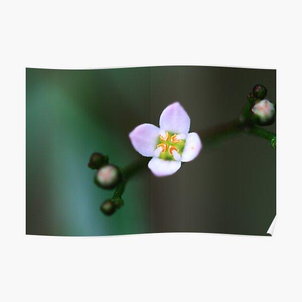 Zieria smithii Poster