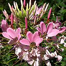 Cleome (Spider Flower) #2 by Bev Pascoe